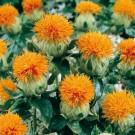 HOBBY, Květiny letničky – Světlice barvířská Orange Bowl, 9145