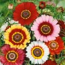 HOBBY, Květiny letničky – Kopretina kýlnatá Rainbow Mix, 9163