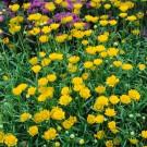 HOBBY, Květiny letničky – Kopretina balkónová Zlatovláska, 9164