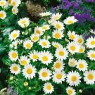 HOBBY, Květiny letničky – Kopretina balkónová Sněhurka, 9165