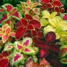 HOBBY, Květiny letničky – Koleus (Africká kopřiva) Rainbow Mixture, 9187