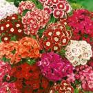 HOBBY, Květiny letničky – Hvozdík bradatý směs, 9225