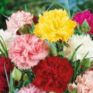 HOBBY, Květiny letničky – Hvozdík karafiát směs, 9226