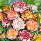 HOBBY, Květiny letničky – Hvozdík karafiát Picotee, 9227