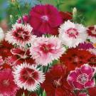 HOBBY, Květiny letničky – Hvozdík čínský směs barev, 9229