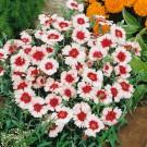 HOBBY, Květiny letničky – Hvozdík čínský Merry Go Round, 9230