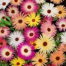 HOBBY, Květiny letničky – Kosmatec sedmikráskovitý směs, 9240
