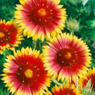 HOBBY, Květiny trvalky – Kokarda sličná žlutohnědá, 9250