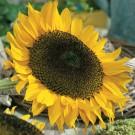 HOBBY, Květiny letničky – Slunečnice roční pro ptáčky, 9267