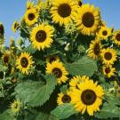 HOBBY, Květiny letničky – Slunečnice roční Waooh!, 9281