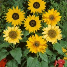 HOBBY, Květiny letničky – Slunečnice roční Pacino Mix, 9286
