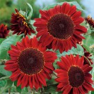HOBBY, Květiny letničky – Slunečnice roční červená, 9290