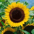 HOBBY, Květiny letničky – Slunečnice roční obrovská, 9292