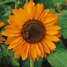 HOBBY, Květiny letničky – Slunečnice roční Sonja, 9299