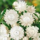 HOBBY, Květiny letničky – Slaměnka bílá, 9302