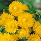 HOBBY, Květiny letničky – Slaměnka žlutá, 9304