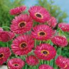 HOBBY, Květiny letničky – Smilek růžový (nesmrtelka) Goliath, 9314