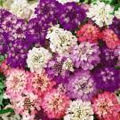 HOBBY, Květiny letničky – Iberka okoličnatá Fairy Mix, 9329