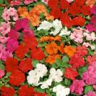 HOBBY, Květiny letničky – Netýkavka sultánská směs barev, 9336