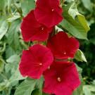 HOBBY, Květiny letničky – Povíjnice Scarlet O'Hara, 9341