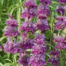 HOBBY, Květiny letničky – Monarda Bergamo, 9418