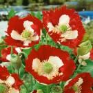 HOBBY, Květiny letničky – Mák setý Danish Flag, 9436