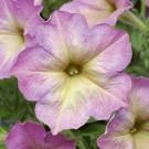 HOBBY, Květiny letničky – Petunie mnohokvětá Debonair Dusty Rose F1, 9439