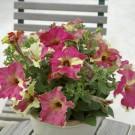 HOBBY, Květiny letničky – Petunie velkokvětá Sophistica Lime Bicolour F1, 9440