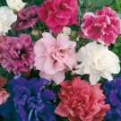 HOBBY, Květiny letničky – Petunie mnohokvětá Duo Double Mix F1, 9442