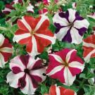 HOBBY, Květiny letničky – Petunie velkokvětá Star F1, 9444