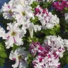 HOBBY, Květiny letničky – Petunie velkokvětá Pozdrav zJaroměře, 9453