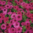 HOBBY, Květiny letničky – Petunie typ surfinie Purple Velvet F1, 9454