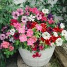 HOBBY, Květiny letničky – Petunie směs, 9455