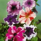 HOBBY, Květiny letničky – Petunie Superbissima směs, 9457