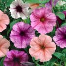 HOBBY, Květiny letničky – Petunie mnohokvětá směs sorchid hvězdou, 9458
