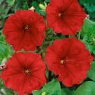 HOBBY, Květiny letničky – Petunie velkokvětá Láska F1, 9459