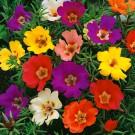 HOBBY, Květiny letničky – Šrucha velkokvětá směs, 9475