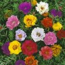 HOBBY, Květiny letničky – Šrucha velkokvětá plnokvětá, 9476