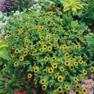 HOBBY, Květiny letničky – Vitálka položená žlutá, 9495