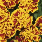 HOBBY, Květiny letničky – Aksamitník rozkladitý Bonanza Bee, 9508