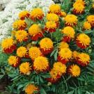HOBBY, Květiny letničky – Aksamitník rozkladitý Tiger Eyes, 9511
