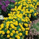 HOBBY, Květiny letničky – Aksamitník rozkladitý Lemon Drop, 9512