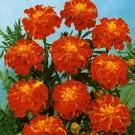 HOBBY, Květiny letničky – Aksamitník rozkladitý Carmen, 9513