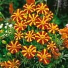 HOBBY, Květiny letničky – Aksamitník rozkladitý Mr. Majestic, 9517