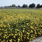 HOBBY, Květiny letničky – Aksamitník rozkladitý Ground Control, 9518
