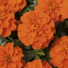 HOBBY, Květiny letničky – Aksamitník rozkladitý Bonanza Deep Orange, 9520