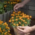 HOBBY, Květiny letničky – Aksamitník rozkladitý Maugli, 9521