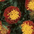 HOBBY, Květiny letničky – Aksamitník rozkladitý Harmony Boy, 9523