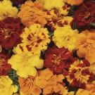 HOBBY, Květiny letničky – Aksamitník rozkladitý Durango Mix, 9524