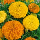 HOBBY, Květiny letničky – Aksamitník vzpřímený Double Grande směs, 9525